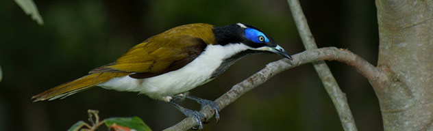 slide_honeyeater.jpg